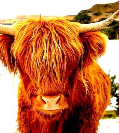 cow-fringe